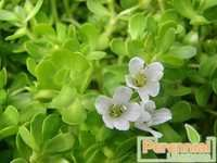 Bacopa Monnieri Extract 50% Bacoside