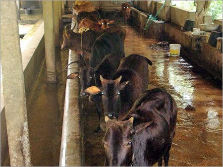 Cow Urine Treatment