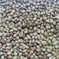 Eagle coriander seed importers