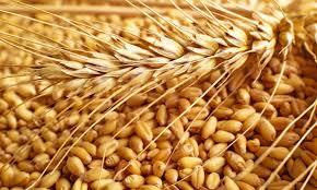 Wheat in india