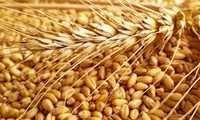 Wheat in india
