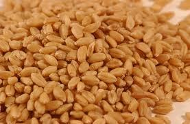 Wheat seeds specification