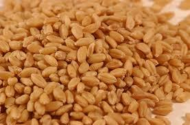 Wheat seeds supplier