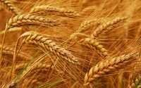 Wheat seeds high quality