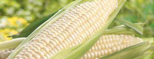 White Corn Human Consumption Grade 2