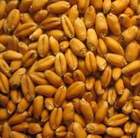 Durum Milling Wheat