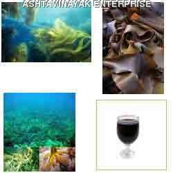 Australian Seaweed Concentrate
