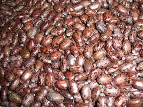 Indian Castor Seed