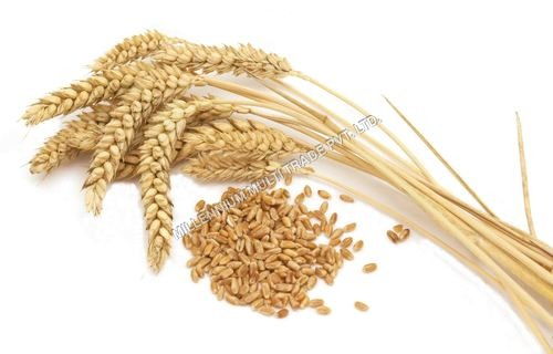 Wheat Grains