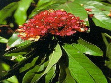 Herbal Ashok
