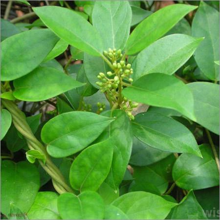 Gurmar Leaves