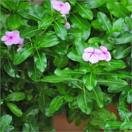 Herbal Medicine Periwinkle