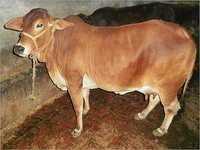 Indian Breed Cow