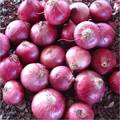 Fresh Red Indian Onions