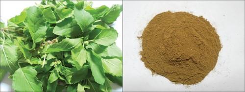 tulsi plant powder(ocimum)