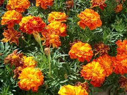 Tagetes Essential Oil
