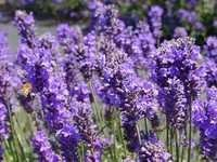 Pure Essential Lavender Oil