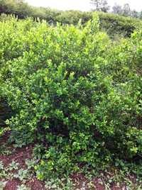 Green Myrtle
