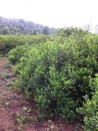 Natural Green Myrtle