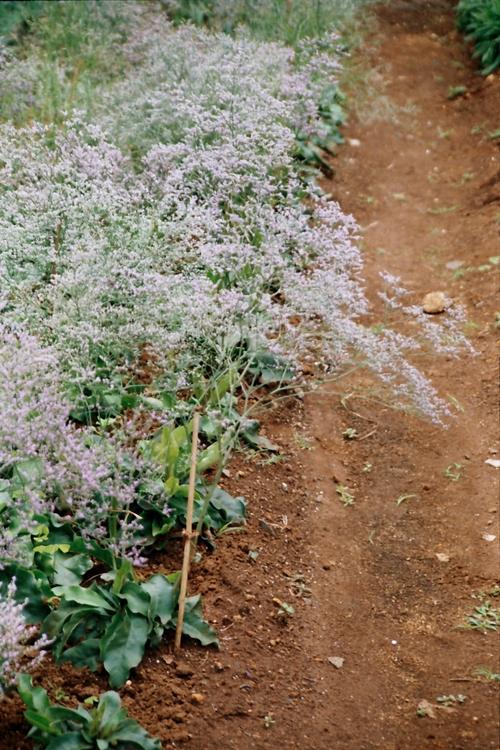 Limonium Plants