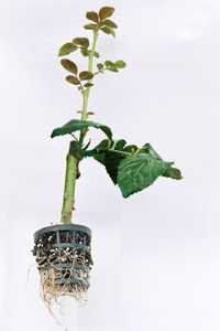 Top Grafted Rose Plant