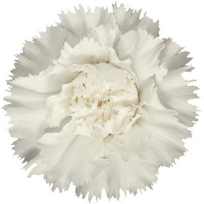 Fiocco Plant Flower