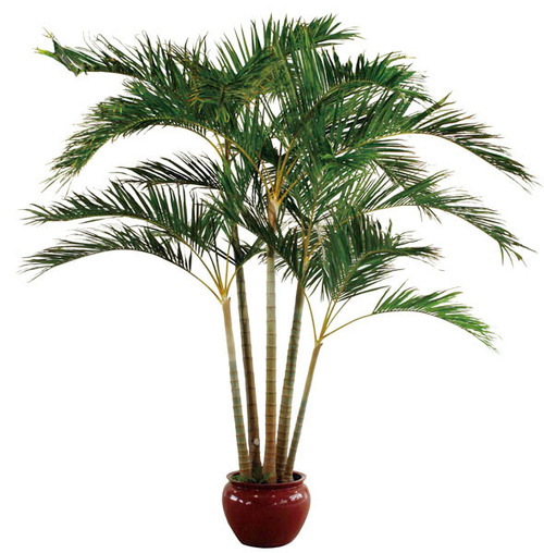 Giant Areca Palm