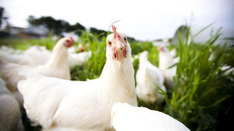 Natural Poultry Feed