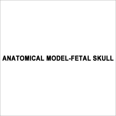 Anatomical Model Fetal skull