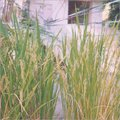 Paddy Pest Control Vitalizer