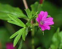 Geranium Flower Oil
