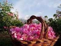 Rose Petal Oil