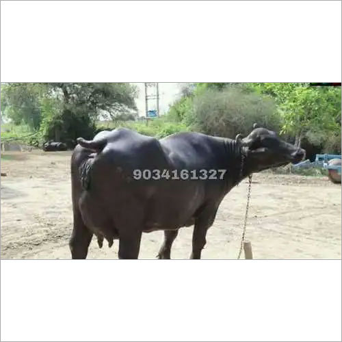 Indian Dairy Farming Murrah Buffalo