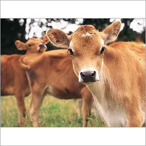Brown Jersey Cow