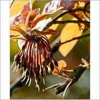 Madhuka Seeds