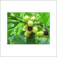 Natural Jatropha Seed