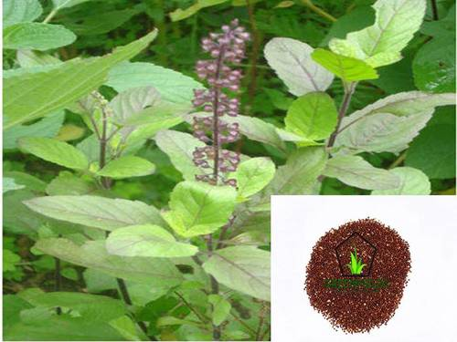 Tulasi seeds ( Ocimum tenuiflorum )