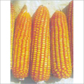Pure Hybrid Maize Seeds