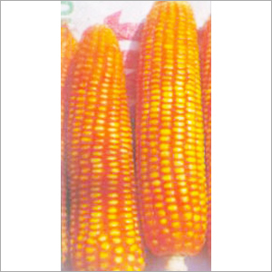 Yellow Hybrid Maize Seeds