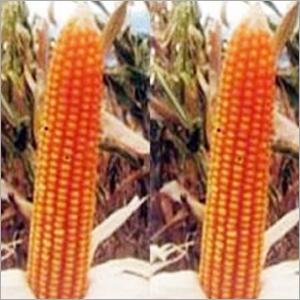 Natural Hybrid Maize Seeds