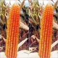Natural Hybrid Maize Seeds