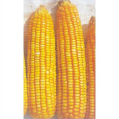 Hybrid Maize Seeds (Safal X 1)