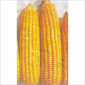 Hybrid Maize Seeds (Safal X 1)