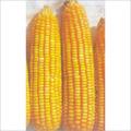 Safal X1 Hybrid Maize Seed