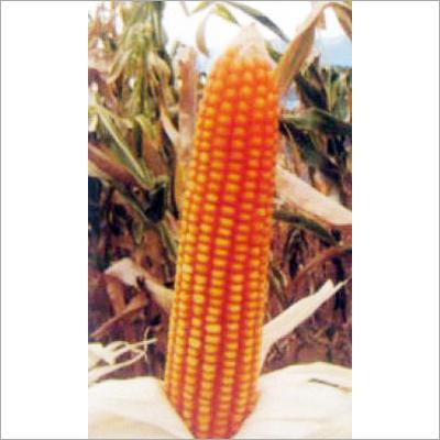 Hybrid Maize Seeds (Safal X-2)
