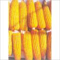 Hybrid Maize Seedsc (Surya)
