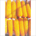 Surya Hybrid Maize Seeds