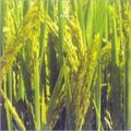 Parvati Paddy Seeds