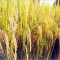 Shubhangi Paddy Seeds