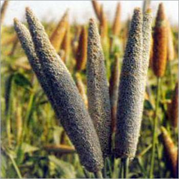 Balwan Millet Seeds
